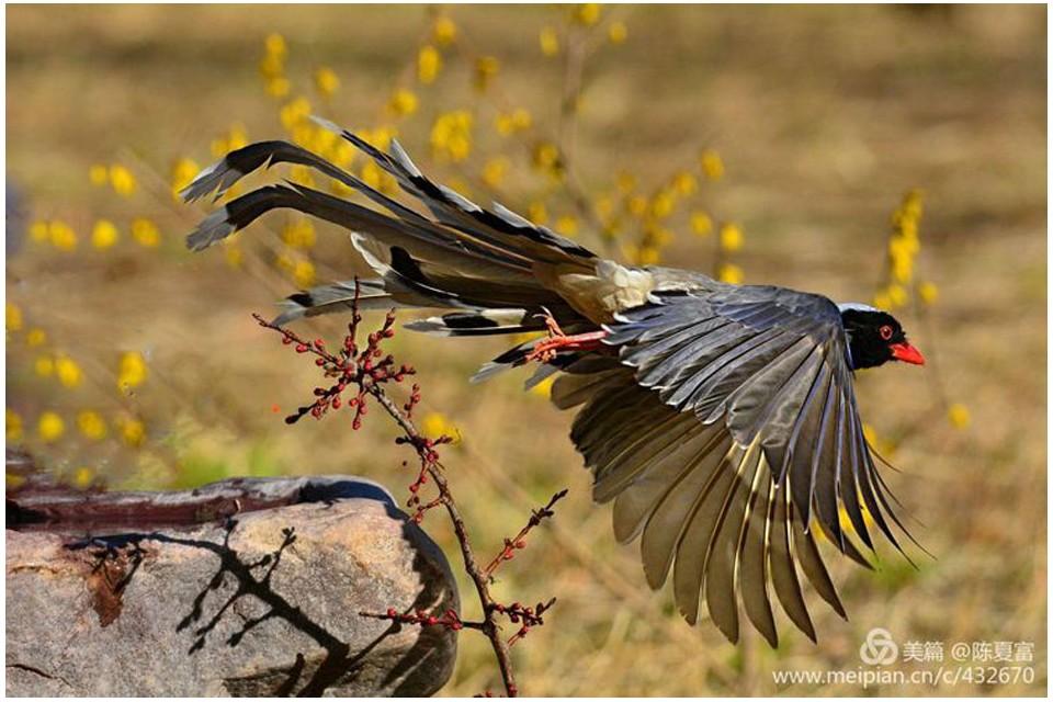 《红嘴蓝鹊》——陈夏富摄影作品